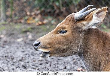 The Indian bull head closeup in field.