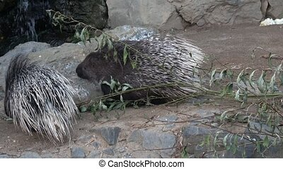 The Indian crested porcupine (Hystrix indica)or Indian porcupine