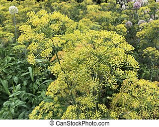 The inflorescences of the seeds of green flowering dill in the garden