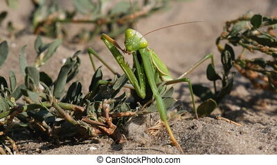 The Insect Green Mantis Sits on the Sand and Cleans its Paws