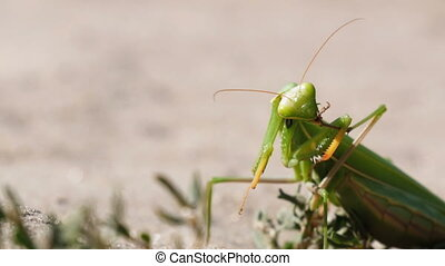 The Insect Green Mantis Sits on the Sand and Cleans its...