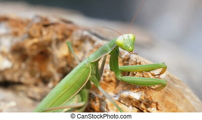 The Insect Green Mantis Sits on Tree Trunk. Extreme...