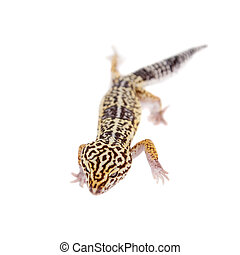 The Iranian fat tailed gecko isolated on white - The Iranian...