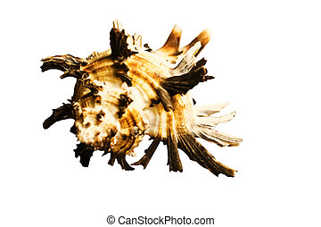 The isolated sea cockleshell on a white background
