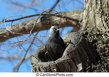 The jackdaw in a tree hollow