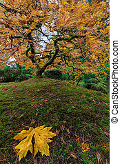 The Japanese Maple Tree in Autumn 2016