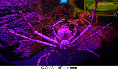 The Japanese spider crab in fish tank with stones at background, close-up
