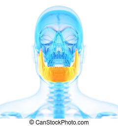 the jaw bone