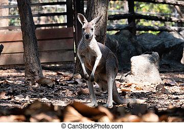 kangaroo - The kangaroos stand in a wooden shade.