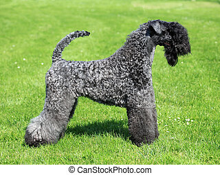 The Kerry Blue Terrier in the spring green grass