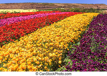 The kibbutz field with ranunculus - The kibbutz field with...
