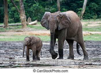 The kid the elephant calf with mum.
