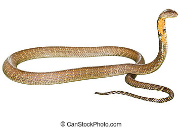 King Cobra Ophiophagus hannah, isolated on white background. Side view. Phobic symbol par excellence.