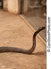 The King Cobra or Ophiophagus hannah standing with hood and looking towards the mirror