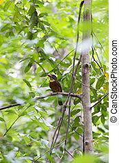 The kingfisher bird at Tangkoko park