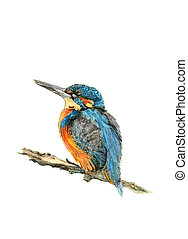The Kingfisher - Hand drawn illustration of a kingfisher...