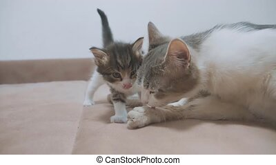 the kitten and the cat lick their tongue. the cat licks the...