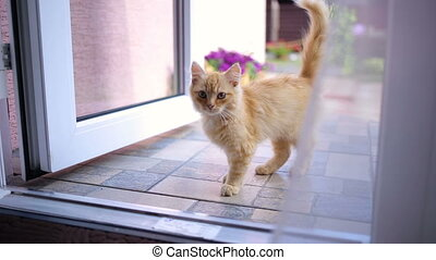 The kitten enters the room from garden