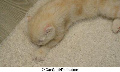 The kitten sucks carpet before bedtime - The kitten sucks...