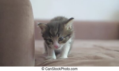the kitten walks along the sofa carefully slow motion video....