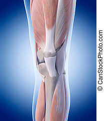 The knee anatomy - medically accurate illustration of the...