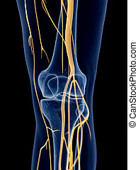 The knee nerves - medically accurate illustration of the...