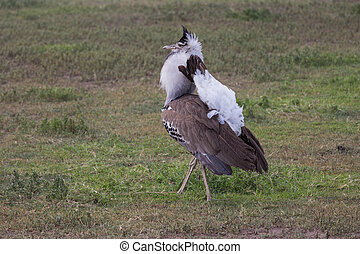 The kori bustard talking a stroll