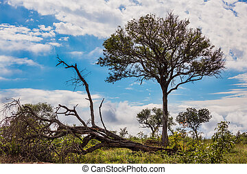 The Kruger Park. African savannah - flat steppe overgrown ...