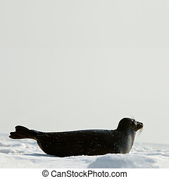 The Ladoga seal on ice. The Ladoga seal in a native habitat....