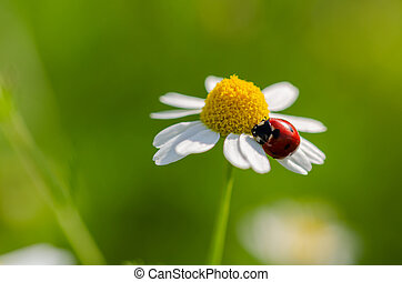 The ladybird sits on a camomile flower. Selective focus and ...