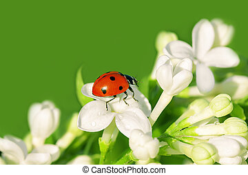 the ladybug creeps on white flowers in the spring