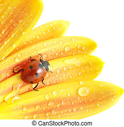 ladybug  - The ladybug sits on a flower petal