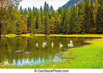 The Lago de Fusine - The white swans swims and reflects in...