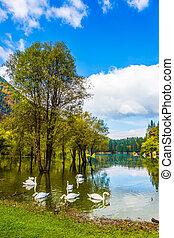 The lake Lago de Fusine - A lovely flock of white swans...