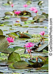 The lake of pink water lily