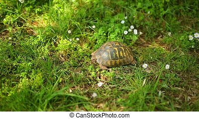 The land turtle in the grass. In Milocer park, near the...