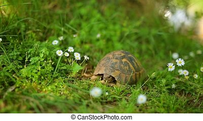 The land turtle in the grass. In Milocer park, near the island