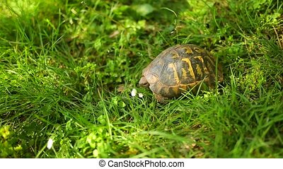 The land turtle in the grass. In Milocer park. - The land...