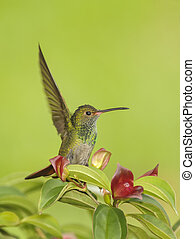 The Landing - Rufous tailed hummingbird perching in a ...