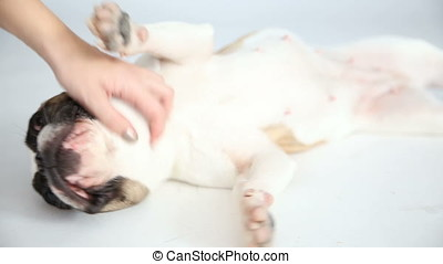 the landlady strokes and scratches her dog. care for your pet. funny little French bulldog