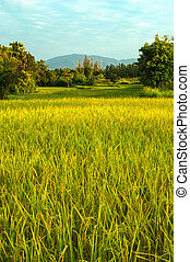 The landscape of rice fields in Thailand.