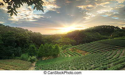 Landscape of Tea Field with fog in morning at Taiwan on sunrise