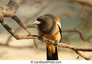 The large image Indian Magpie on a tree branch
