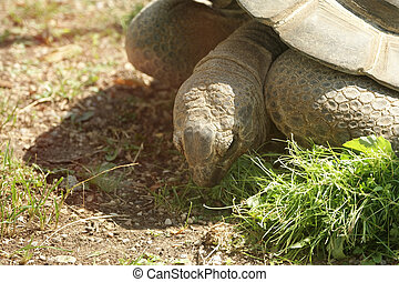 The large image of a head  big   tortoise