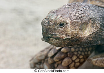 large portrait of a big elephant turtle