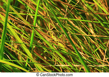the larva of grasshopper sits on a stalk of grass