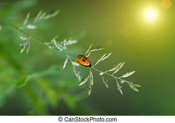 Transverse spotted Ladybug on flower grass. - The Larva of...