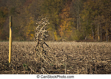 The last plant on a harvested rapeseed field in Mecklenburg-Vorpommern, Germany