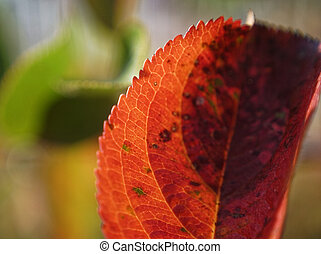 the leaves of black chokeberry in autumn, macro