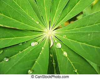 The leaves of lupine (Lupinus), family Fabaceae, with drops of rain